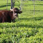  indian gaur feeding in the tea gardens