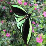 Cairns Birdwing from Australia, very Large
