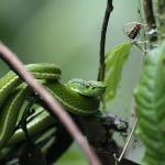 Side striped palm pitviper