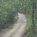 Deer on the lane out from the property
