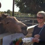 feeding some sort of zebra donkey, careful as they make a grab for the food t