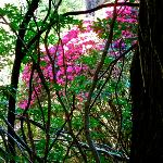  Rhododendrons in the magnificently wild garden