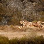 Experience the best in Cheetah conservation