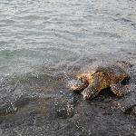  Honu at Kahalu&#39;u