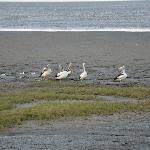 Pelicans along the boardwalk