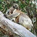 Koala next to cabin