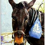 "Moe the Towpath Mule, who loves to get ""treats"" from Tourists"