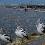 Pelican Feeding