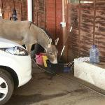 Ascension Island Donkey taking advantage of the car wash water