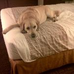 Our labrador relaxing at the La Quinta