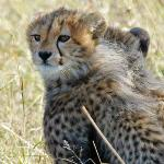 Cute Cheetah cubs!