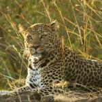  Wonderful Leopard!
