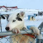  One of John&#39;s sled dogs
