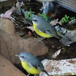 neighbours (Eastern Yellow Robin)
