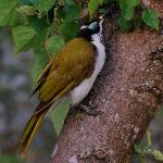 Blue faced honeyeater