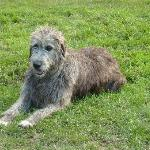  Irish Wolfhound on the farm