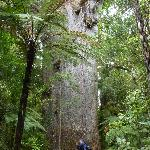 Tane Mahuta Waipoua Forest
