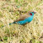 Red-cheeked cordon-bleu outside our lodge at Keekorok