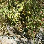  Rio Grande Botanic Garden - roadrunner on the path