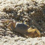  A sand crab. The Sandpipers love them!