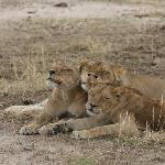 Lion Family Ruaha Tanzania