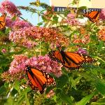  Butterfly bushes in front of the Tides Beach Club