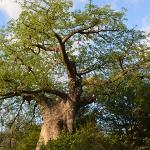  baobab