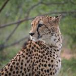  Bush walk with cheetah