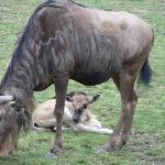  Mother wildebeest and calf