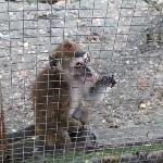 A monkey chewing on the cage