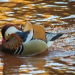 This beautiful Mandarin duck along with others love the creek on the grounds