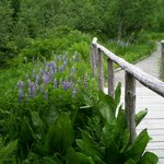 Lupine along trail - spring