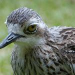  Bush Stone Curlew in hotel garden