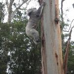 Koala Climbing a tree in the C/park