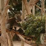 Koalas at Urimbirra