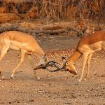 Impala's Fighting