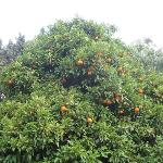 Orange Tree in garden at Ecer Pension