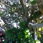 Cuban Laurel Tree in shaded garden patio