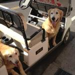 The dogs love to take a ride on the golf cart.