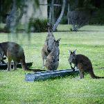 Kangaroos feeding at dusk