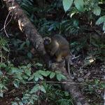 Tree Kangaroo visiting the CP