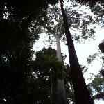 the world tallest tropical tree 88m in height is still standing tall in Taman hills park