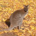 One of our wallabies in the Autumn leaf fall