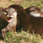 River otters squealing