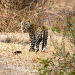 Extremely lucky sighting of leopard