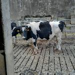 In the cow yard by barn waiting to be milked - or just milked