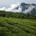  tea hill