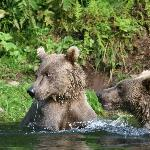  Brown Bears at Wolverine Creek Fly-Out