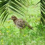  A spotted dikkop in the garden, hoping not to be seen