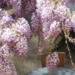  wisteria giantess on summer restaurant